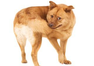 pies gryzie ogon