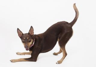 Pies-ukłon